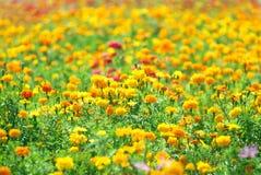 marigolds πεδίων Στοκ φωτογραφία με δικαίωμα ελεύθερης χρήσης