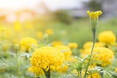 Marigolds στον κήπο Ασιάτη Ή κίτρινος ήλιος λουλουδιών ANS Στοκ φωτογραφία με δικαίωμα ελεύθερης χρήσης