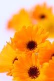 marigolds δοχείο Στοκ Φωτογραφίες