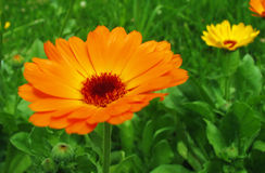 Marigolds. A pair of marigolds photographed in their natural environment on a summer sunny day stock image