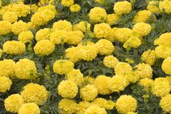 Marigolds Stock Photography