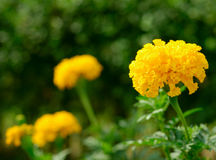 Marigolds Fotos de Stock Royalty Free