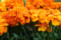 marigolds Στοκ Εικόνα