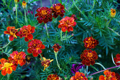 Marigolds Royalty Free Stock Photos