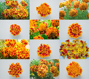 Marigolds. A montage of brilliant marigolds royalty free stock images