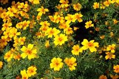 marigolds κίτρινα Στοκ Εικόνα