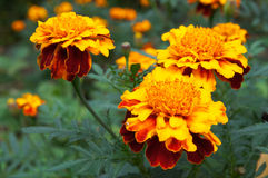 Marigolds. Flower of yellow-orange marigolds in garden Royalty Free Stock Photography