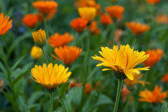 Marigolds Stock Image