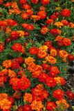 marigolds Fotos de Stock