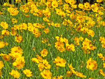 Marigolds. Close up of the orange and yellow marigolds Royalty Free Stock Photo