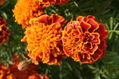 Marigolds. Orange and red marigolds royalty free stock photos