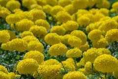 marigolds foto de stock royalty free