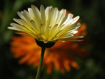 marigolds Fotografia de Stock