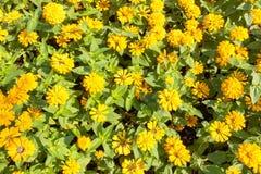 marigolds Imagens de Stock