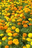 Marigolds. A flowerbed of colorful marigolds Royalty Free Stock Photo