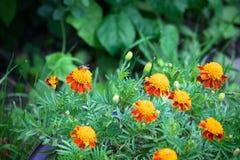 marigolds Στοκ εικόνα με δικαίωμα ελεύθερης χρήσης