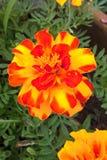 marigolds imagens de stock royalty free