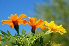 Marigolds abaixo Fotografia de Stock Royalty Free