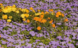 Marigolds and ageratum Royalty Free Stock Photos