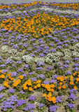 Marigolds and ageratum Stock Photos