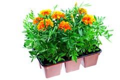 Marigolds alaranjados brilhantes em uns potenciômetros plásticos Fotografia de Stock