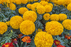 Marigolds. Beautiful Marigolds in the garden Royalty Free Stock Images