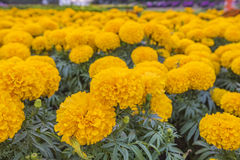 Marigolds. Beautiful Marigolds in the garden Royalty Free Stock Photos