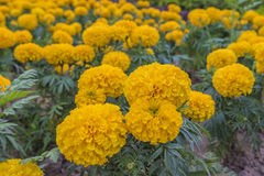 Marigolds. Beautiful Marigolds on the garden Royalty Free Stock Image