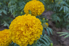 Marigolds. Beautiful Marigolds on the garden Royalty Free Stock Images