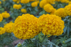 Marigolds. Beautiful Marigolds on the garden Royalty Free Stock Photography