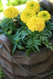 Marigolds in Bucket Royalty Free Stock Photos