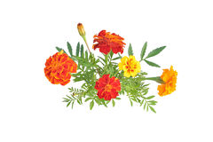 Marigolds with buds and leaves (Latin name: Tagetes). Stock Photography