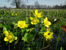 Marigolds, Caltha palustris, yellow flowers blooming on a boggy meadow Stock Photo