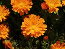 Marigolds. Central marigold flower with handful around Royalty Free Stock Image