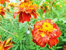 Marigolds close-up. Flower in the flowerbed. Royalty Free Stock Photo