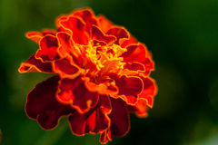 Marigolds closeup Royalty Free Stock Photography