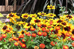 Marigolds and daisies. Beautiful bed of yellow daisies and vibrant marigolds bathing in the sun Stock Photo