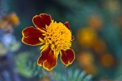 marigolds erecta tagetes Στοκ φωτογραφία με δικαίωμα ελεύθερης χρήσης