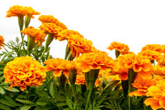 The marigolds field, vivid color flower Stock Images