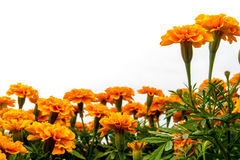The marigolds field, vivid color flower Royalty Free Stock Photography