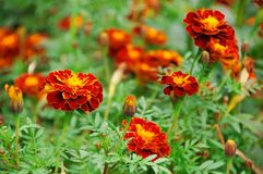 Marigolds in the flower-bed Royalty Free Stock Photo