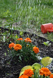 Marigolds. On the flower bed, country garden Royalty Free Stock Photos