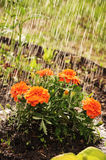 Marigolds. On the flower bed, country garden, water, irrigate Royalty Free Stock Images