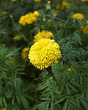 Marigolds flower. In the nature or garden Royalty Free Stock Photo