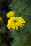 Marigolds flower. In the nature or garden Royalty Free Stock Image