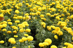 Marigolds flower. In the nature or garden Stock Images