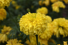 Marigolds flower. In the nature or garden Royalty Free Stock Photos