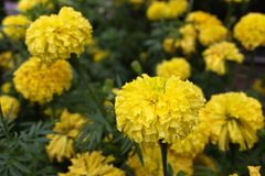 Marigolds flower. In the nature or garden Stock Photos