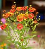 Marigolds flowera Tagetes erecta Royalty Free Stock Image
