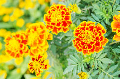 Free Marigolds Flowers Stock Photography - 66297822